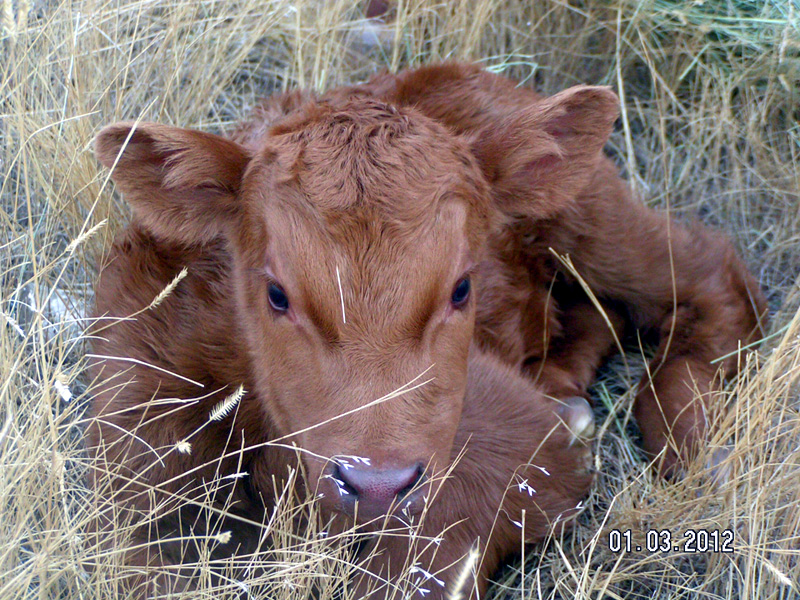 2012_FirstCalf.JPG